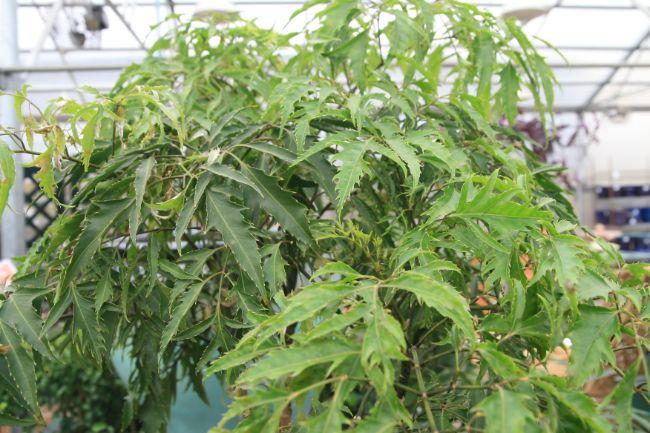 Ming aralia care polyscias fruticosa