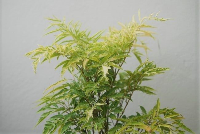 Ming Aralia Care How To Grow Polyscias Fruticosa Smart Garden Guide