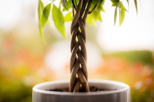 money tree pachira aquatica braided truck and pot