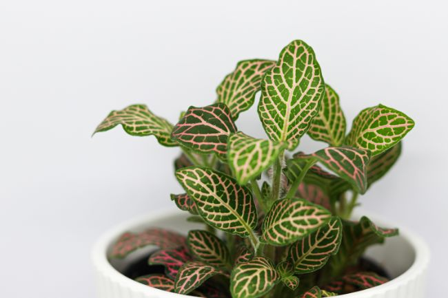 nerve plant fittonia