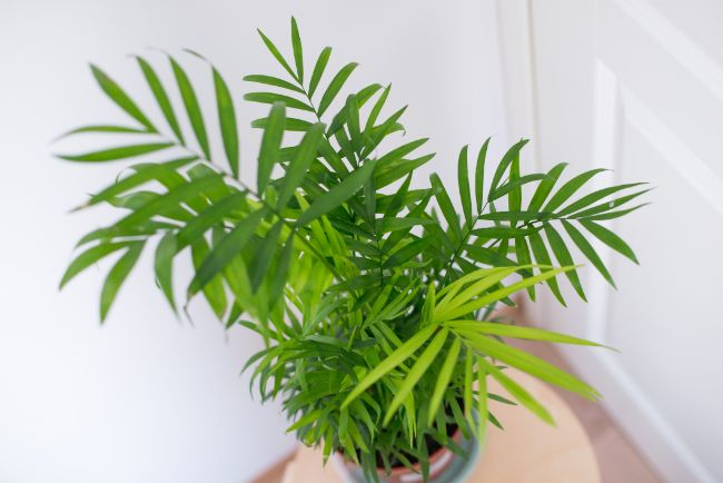 parlor palm houseplants safe for cats