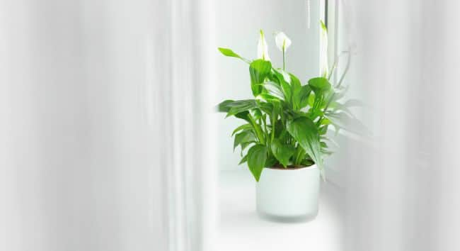 peace lily on windowsill