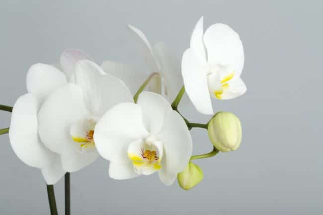 phalaenopsis orchids houseplants safe for cats
