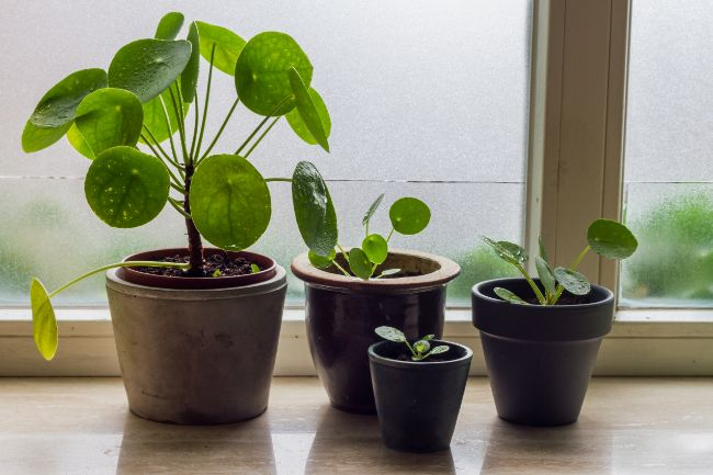 chinese money plant pilea peperomioides easy houseplants to propagate