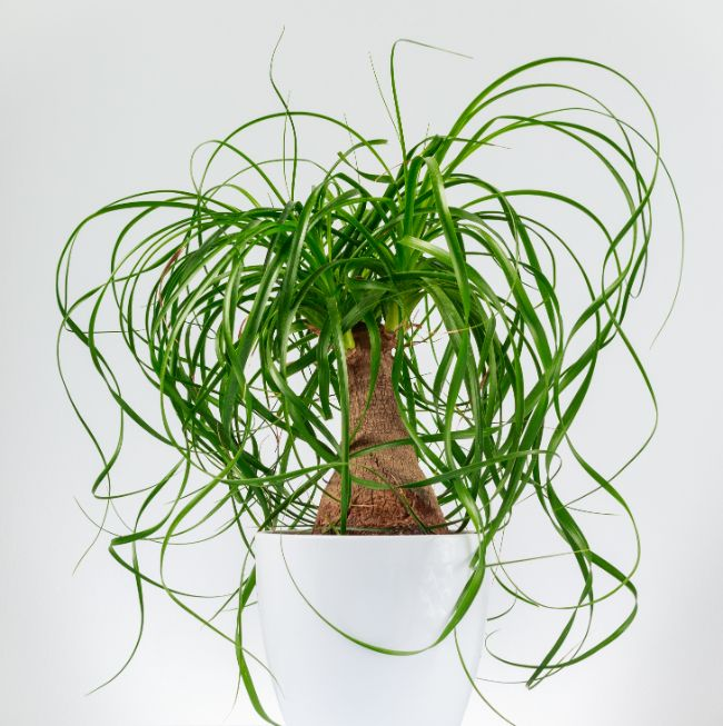 ponytail palm houseplants safe for cats