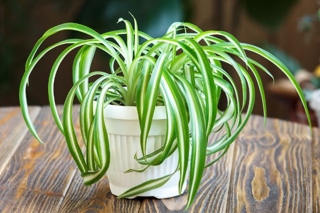 spider plant houseplants safe for cats