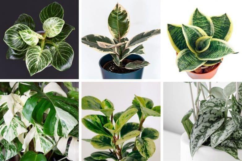 variegated houseplants