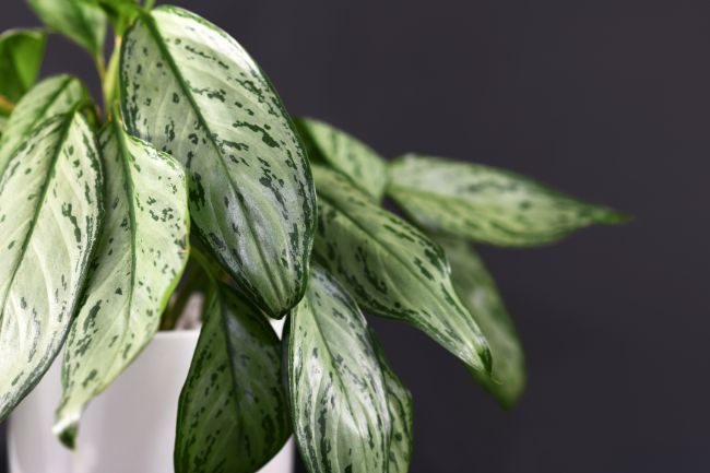 aglaonema silver queen chinese evergreen variegated houseplants
