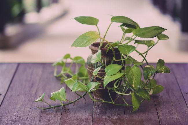 Epipremnum Aureum Pothos variegated houseplants