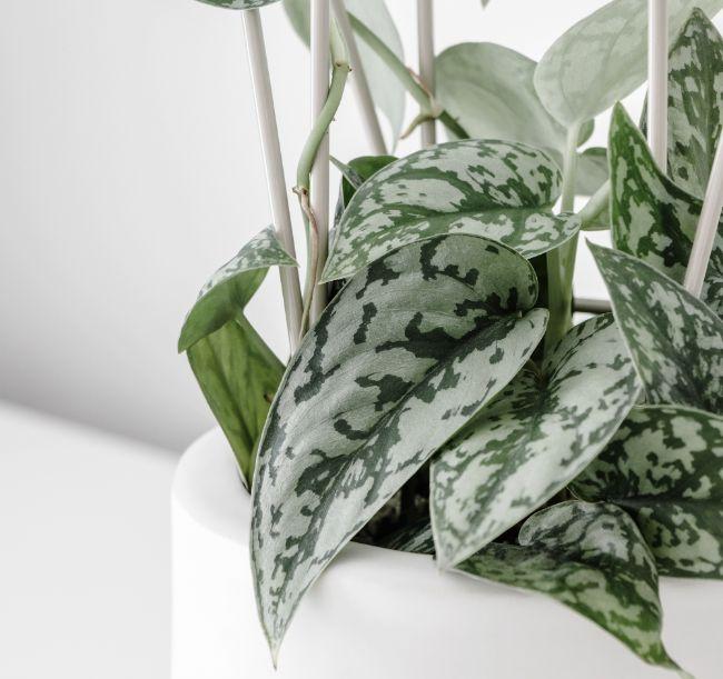 Scindapsus Pictus Satin Pothos variegated houseplants