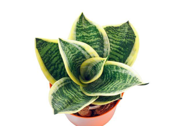 Sansevieria Trifasciata Golden Hahnii Snake Plant