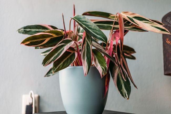 Stromanthe Sanguinea Triostar variegated houseplants