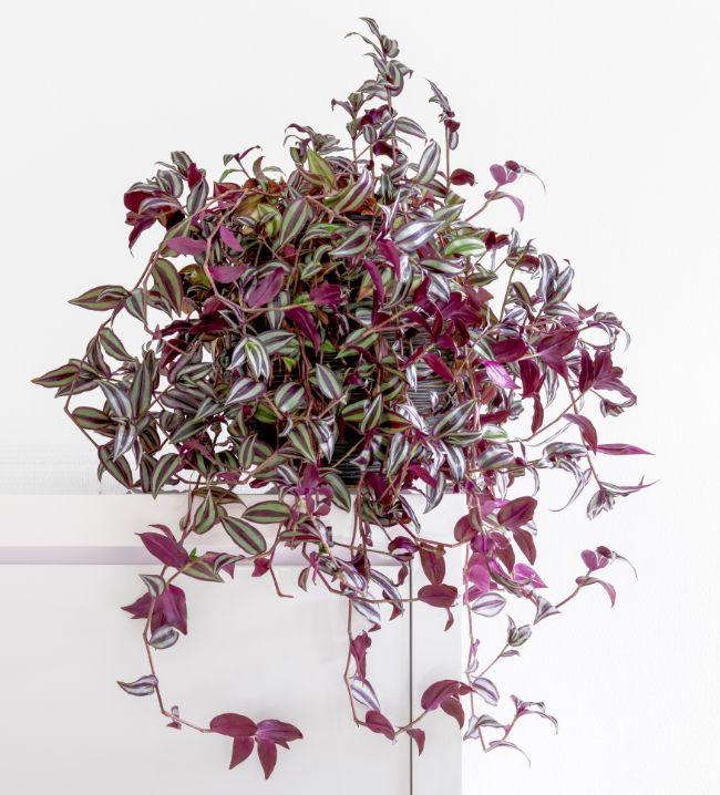 Tradescantia Zebrina variegated houseplants