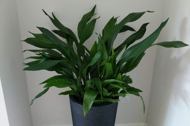 cast iron plant care aspidistra elatior