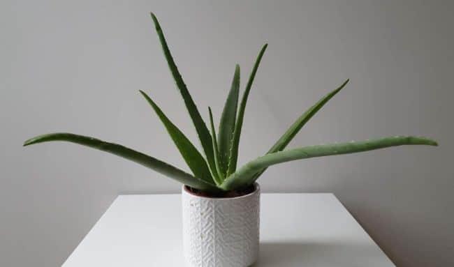 fast growing indoor plants aloe vera