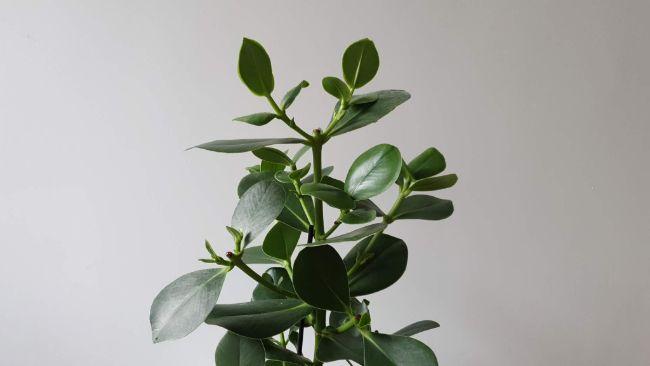 fast growing indoor plants clusia rosea