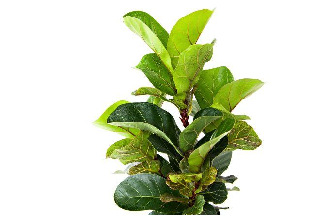 fiddle leaf fig ficus lyrata