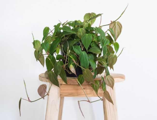 fast growing indoor plants heartleaf philodendron