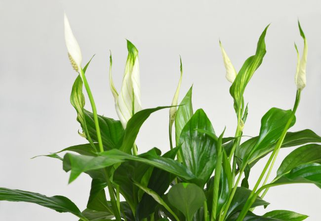 fast growing indoor plants peace lily