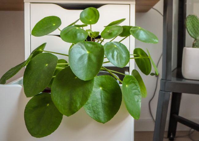 fast growing indoor plants pilea peperomioides