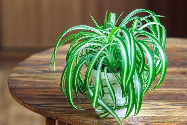 spider plant chlorophytum comosum