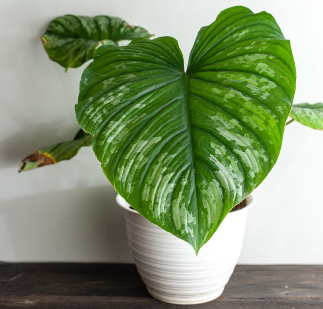 philodendron varieties philodendron mamei