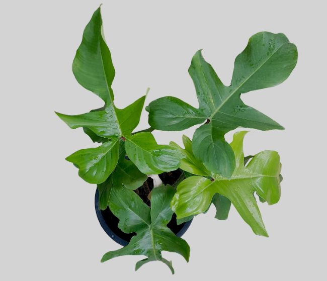 Philodendron varieties Philodendron Pedatum