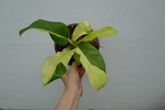 Philodendron 'Thai Sunrise'