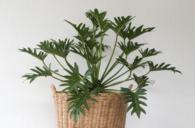 Philodendron Xanadu Thaumatophyllum Xanadu