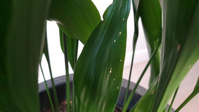 aspidistra brown leaves cast iron plant