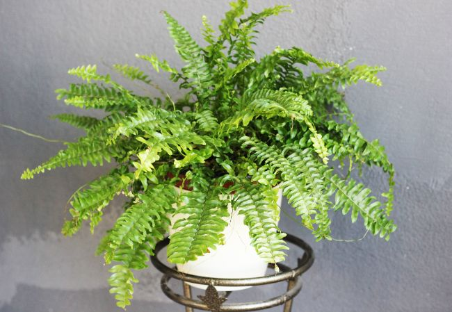boston fern dying nephrolepis exaltata