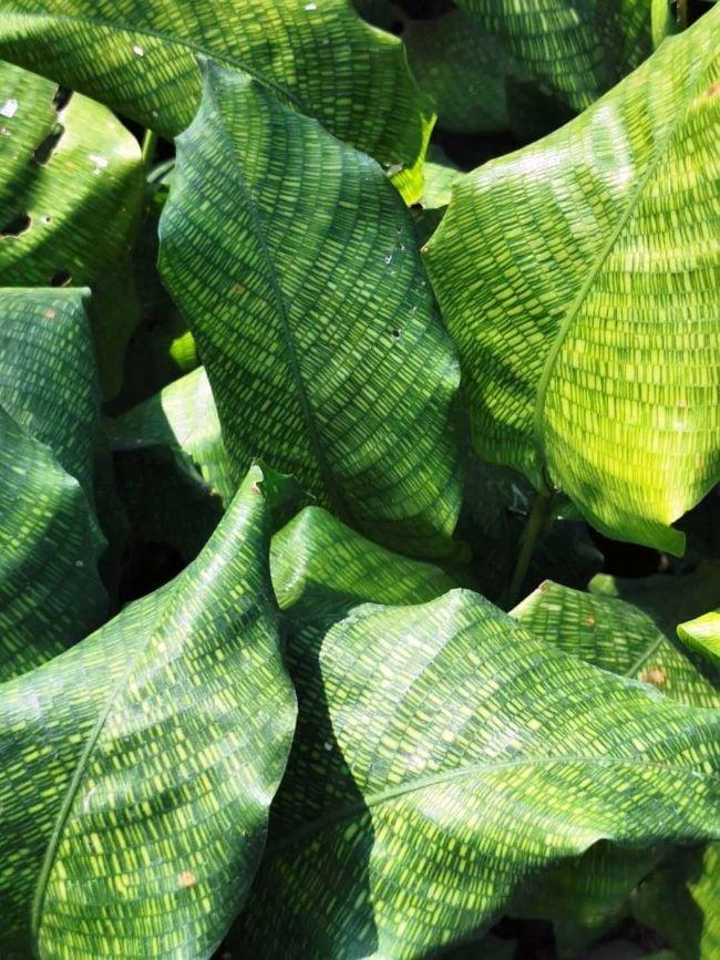 calathea musaica care tips
