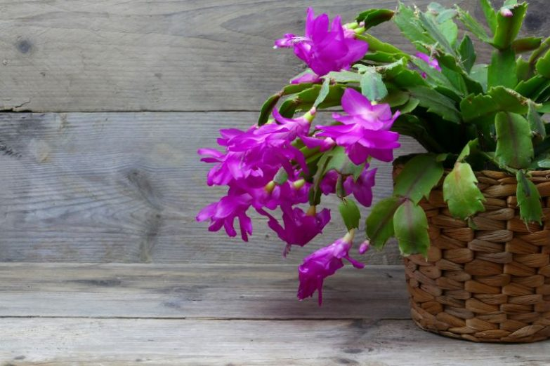 christmas cactus dropping leaves schlumbergera