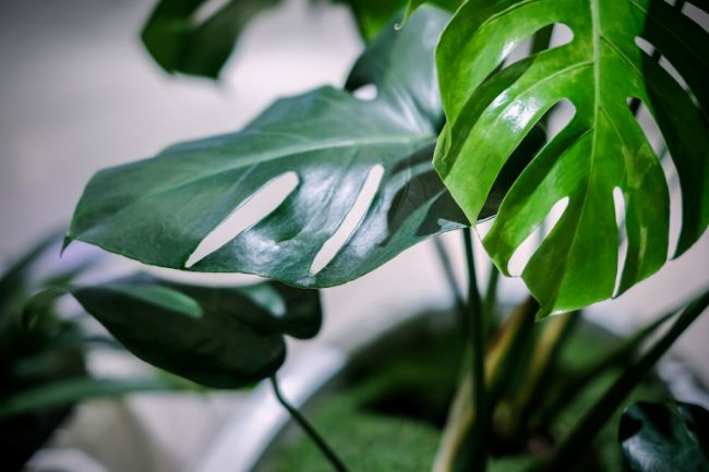 monstera brown spots on leaves