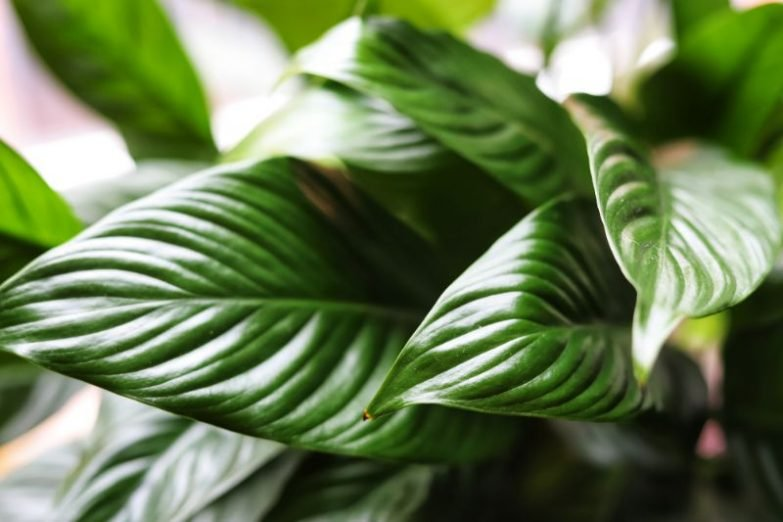 peace lily dying spathiphyllum