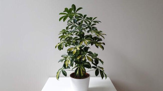umbrella plant schefflera arboricola