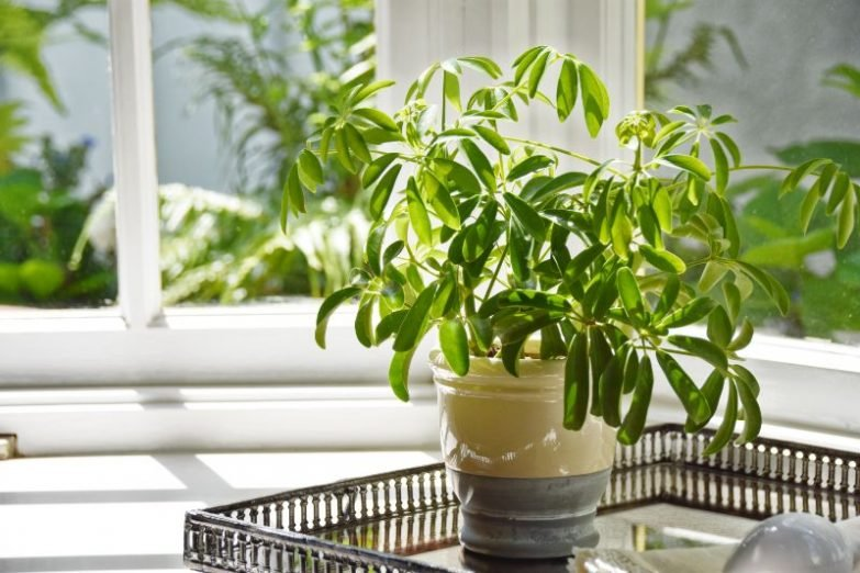 umbrella plant drooping schefflera arboricola