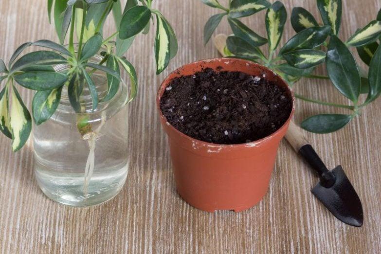 umbrella plant propagation schefflera arboricola