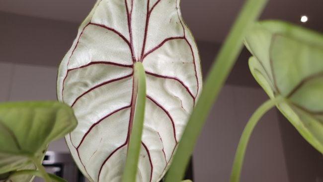 alocasia dragon scale care