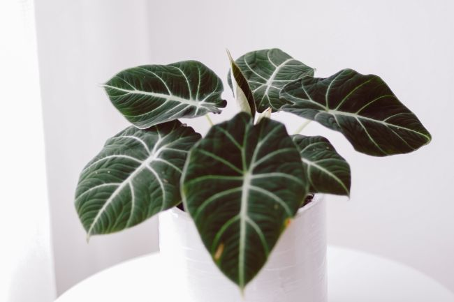 alocasia leaves turning yellow