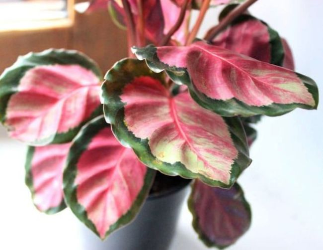 calathea roseopicta rosy care