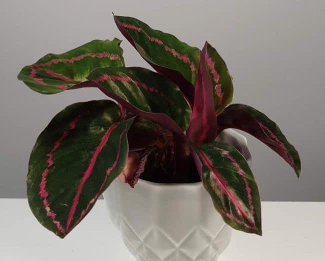Calathea roseopicta dottie