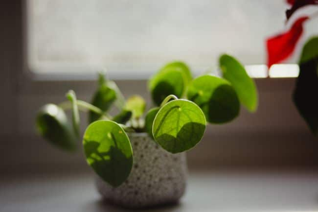 chinese money plant drooping pilea peperomioides