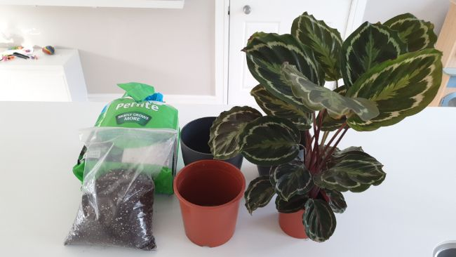 equipment to repot a calathea houseplant