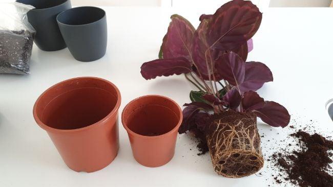 repotting a calathea houseplant