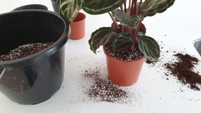 how to repot a calathea houseplant