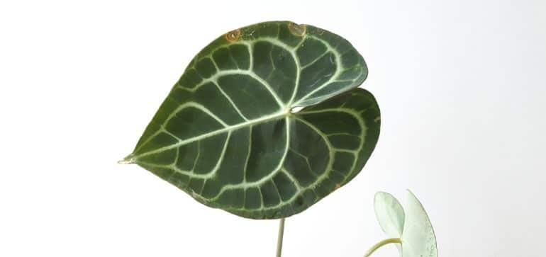 anthurium clarinervium brown leaves
