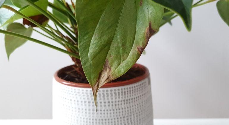anthurium brown leaves