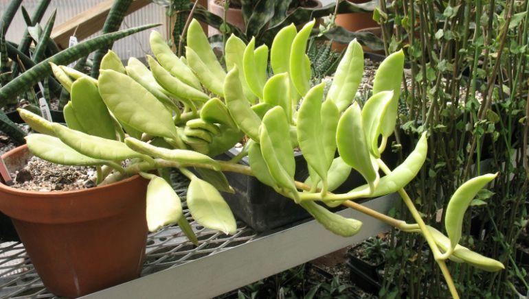 Hoya australis 'Oramicola'