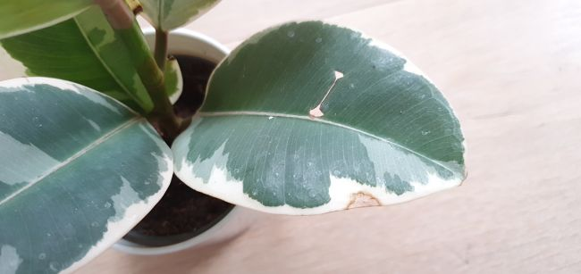 rubber plant leaves turning brown